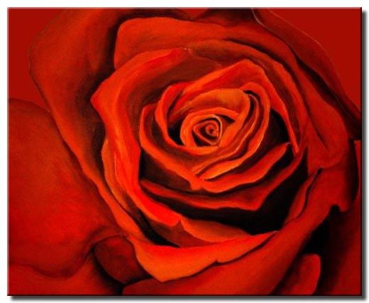 large red rose in closeup